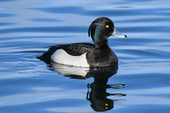 Skúfönd - Tufted Duck - Aythya fuligula (oskar.sigurmundason) Tags: skúfönd tufted duck aythya fuligula nikon d500 sigma 150600sport birds birding ducks iceland island waterfowl national geographic ngc