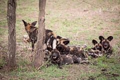 The Wild Dogs - The Serengeti (virtualwayfarer) Tags: serengeti tanzania eastafrica easternafrica tanzanian nationalpark wild safari adventuresafari adventure wildlife greatmigration nature landscape mara simiyu migration unesco unescoworldheritage heritage canon canon6d wilddog wilddogs pack packofwilddogs nap napping africandogs africanwilddogs