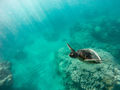 Green Sea Turtle, Hanauma Bay, HI (tylermielnichuk) Tags: greenseaturtle hawaii hanaumabay underwater gopro blue green lightrays peace swimming ocean endangered reptile