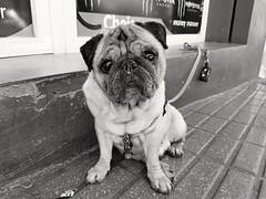 Pug / Carlino (LUiS AFB) Tags: pug carlino dog perro bw blanco negro white black street calle