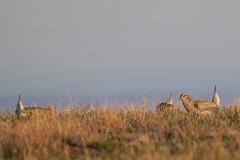 Sharp-tailed Grouse-19 (buskirktim) Tags: bird birding wildlife sharptail grouse
