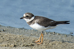 common ringed plover-1 (S. Nysteen) Tags: srilanka commonringedplover southernprovince lk storpræstekrave charadriushiaticula