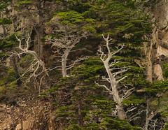 trees along the hike.IMGP7164 (candysantacruz) Tags: pointlobossnr trees montereycounty coastline