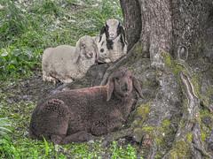3 sheeps (Claude@Munich) Tags: germany bavaria upperbavaria kochelsee kochel animal sheep domesticsheep ovisaries three claudemunich bayern oberbayern tier haustier lämmer schaf schafe hausschaf drei