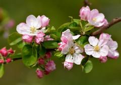 Apple blossom time. (pstone646) Tags: blossom flowers flora closeup nature pink softfocus bokeh