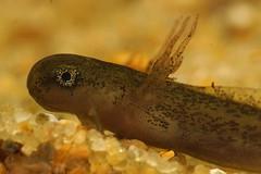 Hynobius quelpaertensis, larvae (henk.wallays) Tags: aaaa amphibia bộcóđuôi chordata caudata henkwallays hynobidae hynobius hynobiusquelpaertensis kuyruklukurbağalar nature pyrstösammakot płazyogoniaste stages semenderler winkelzahnmolche amfibie amfibien amphibie amphibien anfíbios caudado caudados closeup farkoskétéltűek gewervelden larvae lurche macro mlok molche natuur newt salamander salamandras salamanterieläimet schwanzlurche triton urodela urodele urodelos vertebrata vertebrate wildlife земноводні хвостаті саламандра 鯢