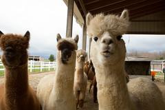 medina-7685 (FarFlungTravels) Tags: alpaca animal farm medinacounty onefineday shear wool