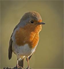 European Robin (Charles Connor) Tags: europeanrobin robins smallbirds birdphotography ukbirds backyardbirds colourfulbirds wildlife wild wildlifephotography naturephotography nature canon7dmk11 canon100400lens