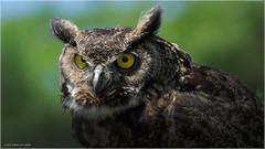 Great Horned Owl (Chris Lue Shing) Tags: nikond5100 nikonafs70300f4556gvr bird aurora ontario canadasday show prey raptor captive nature ©chrislueshing afsnikkor70300mm14556g owl hornedowl great nikon 70300 70300mm bokeh nikkor animal d5100