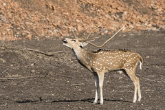 bellowing Chital stag (Shubh M Singh) Tags: horny spotted deer stag bellow rutting call ranthambhore india rajasthan wildlife
