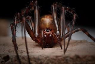 Meta species, Cave spider.