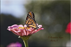 Bokeh and Butterfly (Aquamarine Images) Tags: monarch butterfly monarchbutterfly gardens zinnias zinniaandbutterfly bokeh aquamarineimages