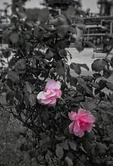Fioritura industriale!! (leonardogiangori) Tags: bnw grey grigio rosa pink splash fiori