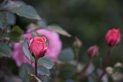 A ROSE, within a rose (Pejasar) Tags: red thorns 2017 tulsa oklahoma nature bloom flower rose spring