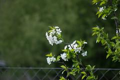 Anglų lietuvių žodynas. Žodis sour cherry tree reiškia rūgščiųjų vyšnių medis lietuviškai.