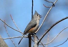 Tufted Titmouse (av8s) Tags: tuftedtitmouse titmouse birds perchingbirds songbirds wildlife nature photography nikon d7100 sigma 120400mm pennsylvania pa