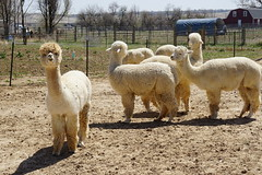 The standout (Let Ideas Compete) Tags: alpaca animal furry fur farm group herd farmanimal sourceoffur notallama white whitefur