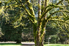The old mossy Oak tree. Soaking up the sun (dandij, 176,000+ views, Thank you for looking.) Tags: oak tree mossy old green