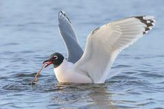 Franklin's Gull (Amy Hudechek Photography) Tags: franklins gull bird spring migration colorado amyhudechek worm dinner breeding colors nature wildlife