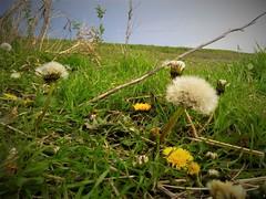 beyond part 2 (Emilynx) Tags: seed seeds macro macromondays nature natura natur outside beyond flower greengrass grass green yellow dandelion flickr sky pov