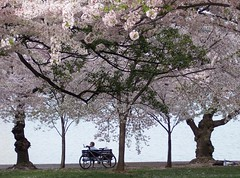 Cherry Blossom Fest, Washington D.C. (Francoise100) Tags: usa baüme districtofcolumbia washington dc bank fahrrad bench repos banc cherrytrees rose vélo cerisiers trees pink blossoms bicycle cherryblossom