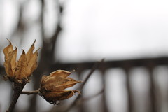 Feelings... (MomOfJasAndTam) Tags: dry dried flower flowers flora tree trees fence blur feeling feelings blue notquitehff hff happyfencefriday happyfencefridayonthursday mood moody dof depthoffield feelingblue