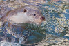 Loutre (philph0t0) Tags: loutre mustelidés loutredeurope loutreeuropéenne lutra lutralutra loutrecommune europeanotter european otter europe