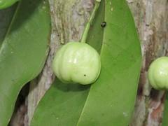 Acronychia baeuerlenii 6 (barryaceae) Tags: booderee national park jervis bay nsw australia arfps australian rainforest plant