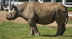 Yorkshire Wildlife Park  17.04.2017 110 (SnapAndy1512) Tags: yorkshirewildlifepark17042017 yorkshirewildlifepark blackrhino rhino animals zoo