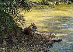 TIG171374GBw (giles.breton) Tags: andyrouse ranthambhorenationalpark india dickysingh