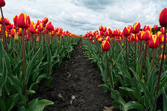 Marching To Heaven (Alfred Grupstra) Tags: tulips hauwert noordholland nederland nl tulip nature flower springtime plant red netherlands flowerbed outdoors field flowerhead multicolored leaf beautyinnature summer greencolor season sky petal blossom