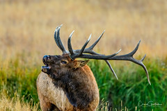 Counterpoint (craig goettsch - off and on traveling) Tags: elk bull male mammal rocky mountain np rockymountainnp wildlife nature rut nikon d500