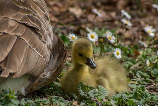 fluffy gosling.