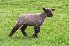 Spring Lamb (mickreynolds) Tags: 2017 easter nx500 lamb innocence 50200mm