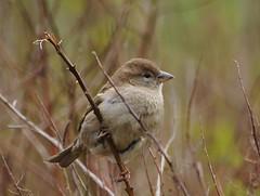 Friend :-) (Jurek.P) Tags: birds sparrow housesparrow wróbel jurekp sonya77 bird