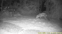 TrailCam217 (ohange2008) Tags: foxes badger cat essexgarden peanuts april trailcam