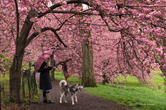 Rain and Cherries (CVerwaal) Tags: blossoms centralpark cherryblossoms dogs spring umbrellas newyork ny usa olympusem5 lumixgvario1235mmf28