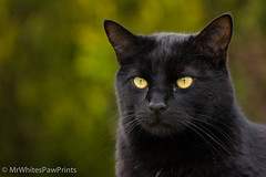 Mr White (Mr Whites Paw Prints) Tags: mrwhite cat blackcat