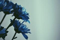 (casadicynthia) Tags: edited minimal bleu vase indoor macro canon blue flowers