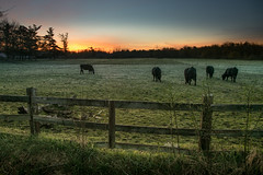 cows don't care (Christian Collins) Tags: canoneos5dmarkiv cows sunrise field pasture fence campo trees amanecer michigan midmichigan midland green greengrass fencing east