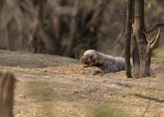 Striped Hyena Cub (Hyaena hyaena) (stuartreeds) Tags: cub babyanimal pup puppy littlerannofkutch wildasssanctuary india gujarat hyena stripedhyena hyenacub