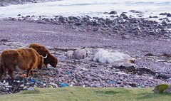 Beached Sperm Whale (AssyntNature) Tags: scotland whale sutherland stoer assynt