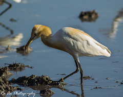 Cattle Egret with its prey (Amudha HariHaran) Tags: blue white birds yellow whitebird cattleegret kokku tuticorin birdsofindia commonbirds perunkulam birdwiththeprey manjalkokku egrettypes