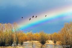 Over The Rainbow (Gary Grossman) Tags: oregon portland landscape rainbow pacificnorthwest refreshing canadageese sauvieisland naturephotography refractedlight rainshower landscapephotography garygrossman garygrossmanphotography
