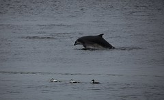 IMG_17879 (walter.innes) Tags: salmon dolphins aberdeenharbour walterinnes