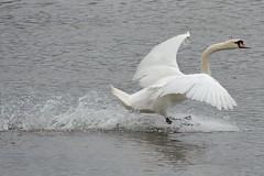 Slowing Swan. (stonefaction) Tags: nature birds st scotland andrews fife wildlife estuary eden faved guardbridge