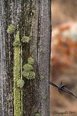Lichens (Blazingstar) Tags: wire alberta lichen barbed fencepost