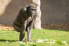 2014-04-17-09h46m33.272P6764 (A.J. Haverkamp) Tags: germany zoo gorilla muenster mnster munster dierentuin thabo westelijkelaaglandgorilla dob23112007 httpwwwallwetterzoode pobmnstergermany canonef500mmf4lisiiusmlens