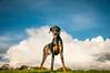 Super Hero Floyd (tarasutherland) Tags: dog pets animals nikon doberman floyd d300 petportraits petphotography dogportraits nikond300 autumnrewardspetphotographysessions lifebytara