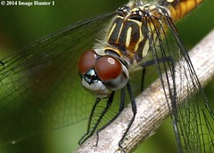 Dragonfly - Bayou Courtableau, Louisiana (Image Hunter 1) Tags: green nature closeup insect wings eyes louisiana dragonfly bokeh bayou swamp marsh canoneos7d bayoucourtableau